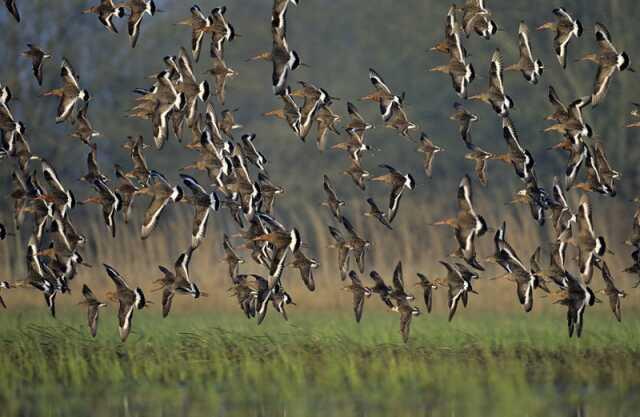 Maine-et-Loire - Randonnée et balade - Les oiseaux migrateurs, des basses  vallées Angevines - Agenda Sainte-Gemmes-sur-Loire 49130